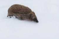 Egel in de sneeuw – Erinaceus europaeus – Common hedgehog(1)