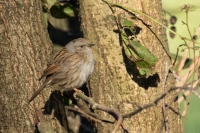 Heggenmus lekker in het zonnetje – Prunellamodularis