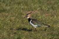 Kievit overwintert – Vanellus vanellus(a)