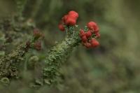 Rode heidelucifer – Cladonia floerkeana(a)