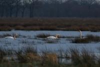 Wilde zwanen foeragerend bij ondergaande zon – Cygnuscygnus