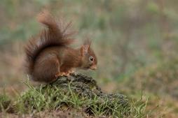 Eekhoorn op zoek naar voedsel - Sciurus vulgaris - Red squirrel (a)
