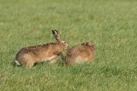 Haas effe meewerken …. – Lepus europeus – European hare(a)