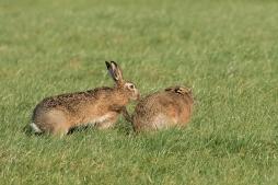 Haas effe meewerken .... - Lepus europeus - European hare (a)