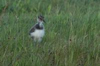 Kievit jong – Vanellusvanellus