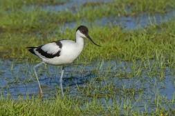 Kluut - Recurvirostra avosetta(a)