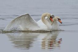 Knobbelzwaan paringsritueel - Cygnus olor - Mute Swan (a)