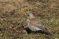 Kramsvogel foeragerend – Turdus pilaris(a2)
