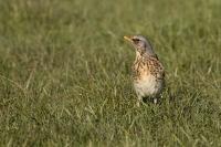 Kramsvogel in karakteristieke houding – Turduspilarus