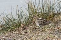 Watersnip foeragerend – Gallinago gallinago – Common snipe(a1)