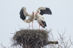 Ooievaar paartje op nest - Ciconia ciconia - White stork (a)