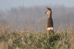 Reegeit op de uitkijk - Capreolius- capreolius - Roe deer (a)