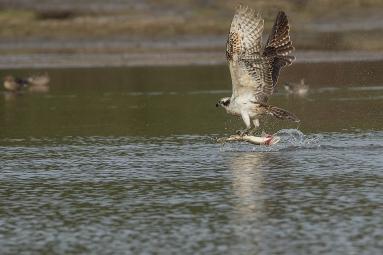 Visarend met snoek - Pandion haliaetus - Fish hawk (a)