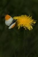 Oranjetipje man op paardenbloem – Anthocharis cardamines(a)