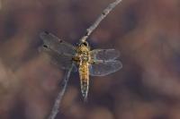 Viervlek vrouw – Libellula quadrimaculata(a1)