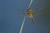 Viervlek vrouw – Libellula quadrimaculata(a2)