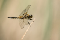 Viervlek vrouw – Libellula quadrimaculata(a3)