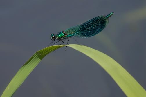Weidebeekjuffer man - Calopteryx splendens - Banded demoiselle (a3)