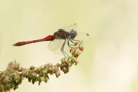 Bloedrode heidelibel man – Sympetrum sanguineum(a)