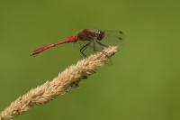 Bloedrode heidelibel – Sympetrum sanguineum(a)