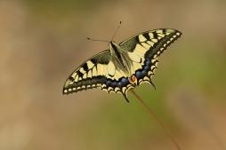 Koninginnepage - Papilio machaon (a1)