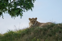 Leeuwin rust in de schaduw – Pantheraleo
