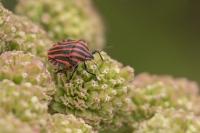 Pyamawants – Graphosoma lineatum(a)