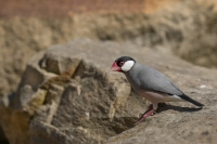 Zebravink in vrije omgeving – Poephilaguttata