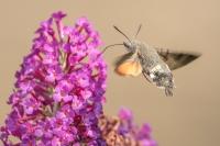 Kolibrivlinder – Macroglossumstellatarum