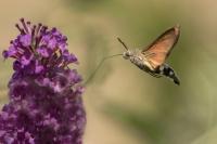 Kolibrivlinder – Macroglossumstellatarum(a4)