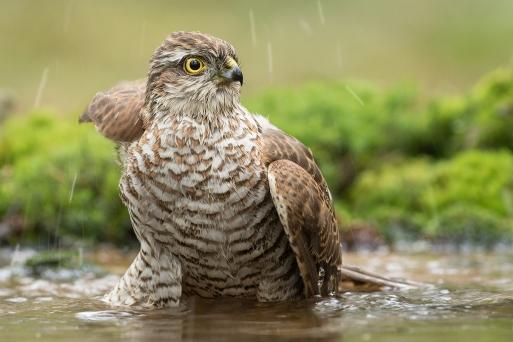 Sperwer man in bad - Accipiter nisus - Sparow hawk (a)