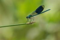 Weidebeekjuffer man – Calopteryx splendens – Banded demoiselle(a6)