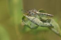Zwarte heidelibel vrouw – Sympetrum danae(a)