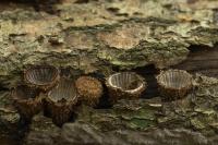 Gestreept nestzwammetje – Cyathusstriatus(a1)