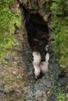 Ivoorinktzwammen in holte berk – Coprinopsis spelaiophila(a1)