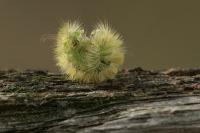 Meriansborstel opgerold – Calliteara pudibunda(a)