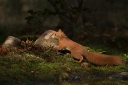Eekhoorn in vol ornaat - Sciurus vulgaris - Red squirrel (a)