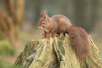 Eekhoorn op boomstronk – Sciurus vulgaris – Red squirrel(a)