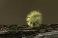 Meriansborstel opgerold – Calliteara pudibunda(a1)
