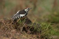 Middelste bonte specht – Dendropocos medius – Middle spotted woodpecker(a1)