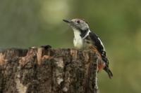 Middelste bonte specht – Dendropocos medius – Middle spotted woodpecker(a3)