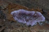 Paarse korstzwam – Chondrostereum purpureum(a)
