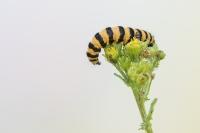 St Jacobsvlinder rups – Tyriajacobaeae