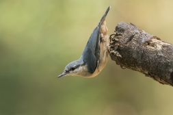 Boomklever met acrobatiek - Sitta europaea - Eurasian nuthatch (a)
