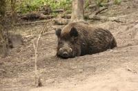 Wild zwijn -beer – Susscrofa(a)
