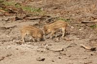 Wild zwijn -biggen – Susscrofa(a)