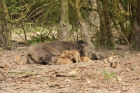 Wild zwijn zeug met jongen – Sus scrofa(a)