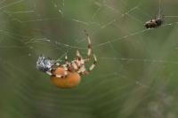 Viervlekwielwebspin met prooien – Araneusquadratus(a)