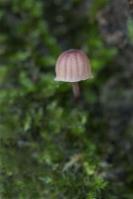 lilabruine schorsmycena – mycena meliigena(1)
