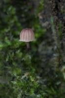 lilabruine schorsmycena – mycenameliigena
